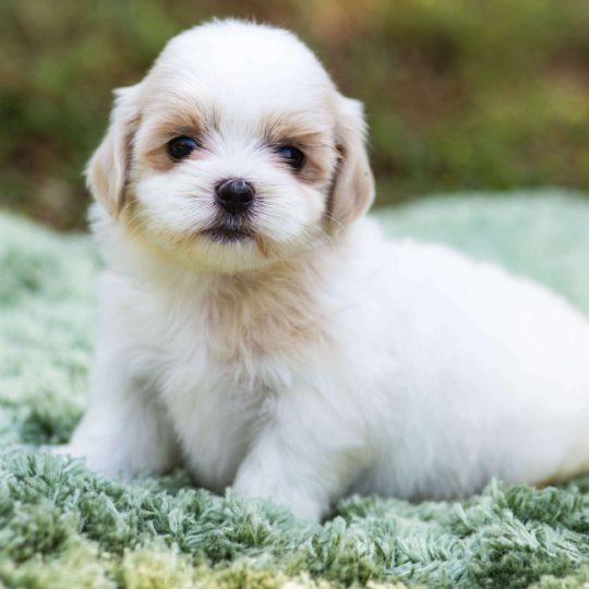Mal-shi (maltese X Shih-tzu) Puppy for Sale