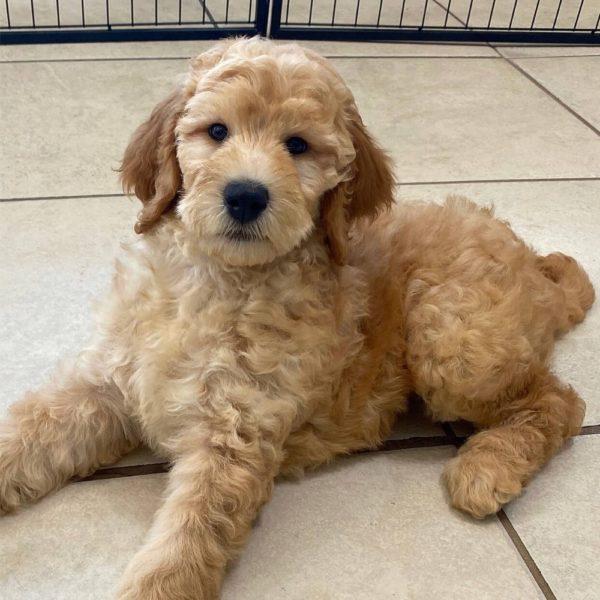 Goldendoodle F1b (goldendoodle X Poodle) Puppy for Sale