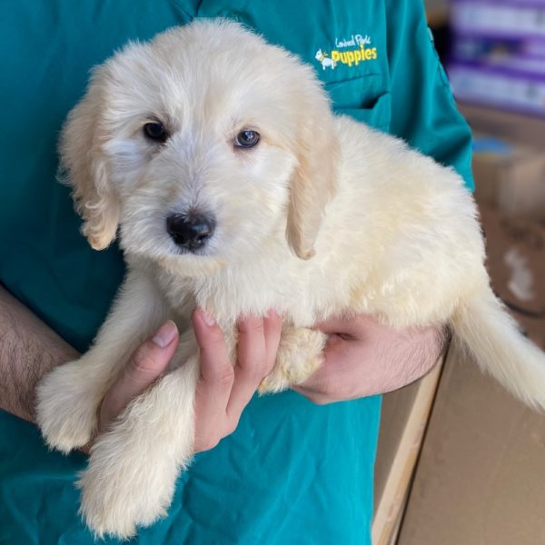 Standard Goldendoodle Puppy for Sale