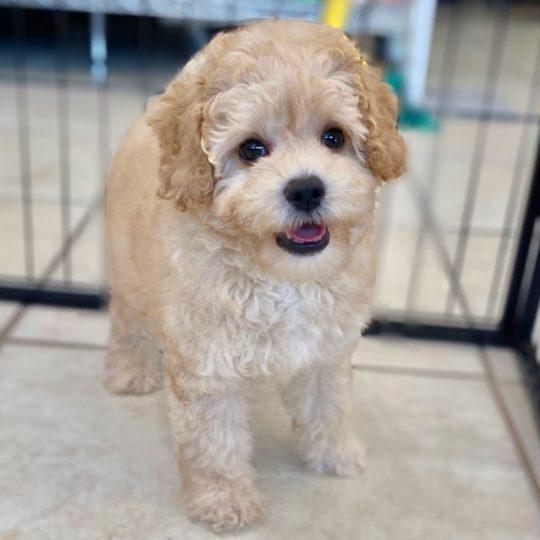Cockapoo (cocker Spaniel X Poodle) Puppy for Sale