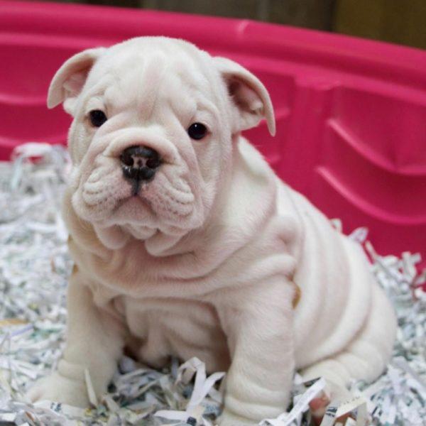 English Bulldog Puppy for Sale