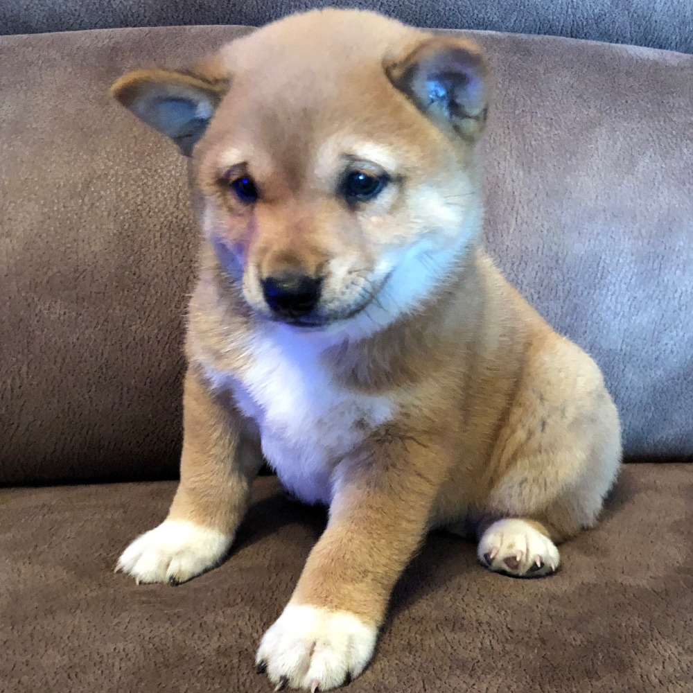 SHIBA INU | MALE | ID:8232-CCS - Central Park Puppies