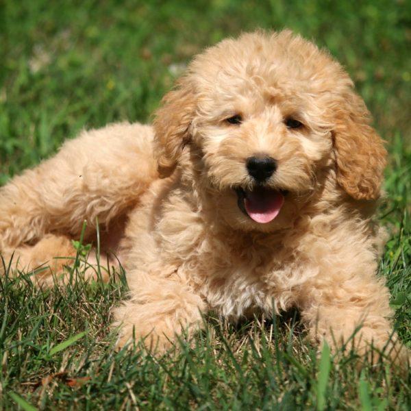 Mini Labradoodle F1b Puppy for Sale
