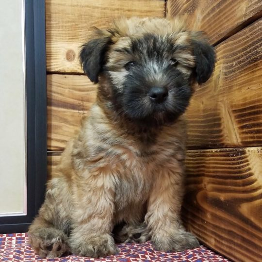 Soft Coated Wheaten Terrier Puppy for Sale