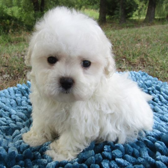 Maltese Puppy for Sale