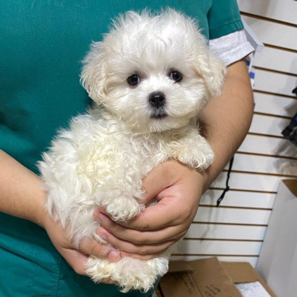 Malshi Puppy for Sale