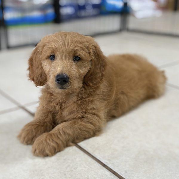 F1 Mini Goldendoodle Puppy for Sale