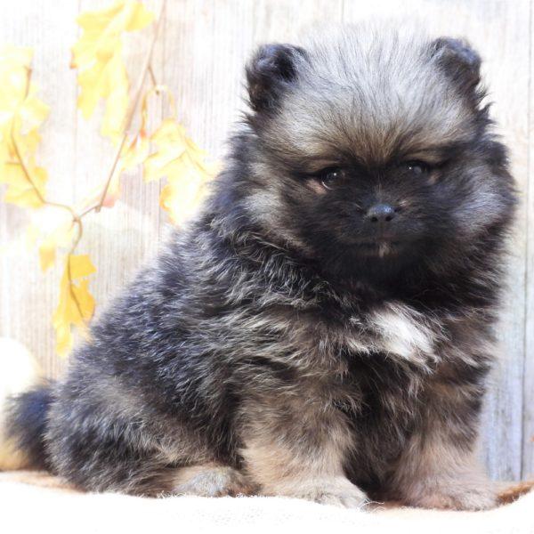 Pomeranian Puppy for Sale