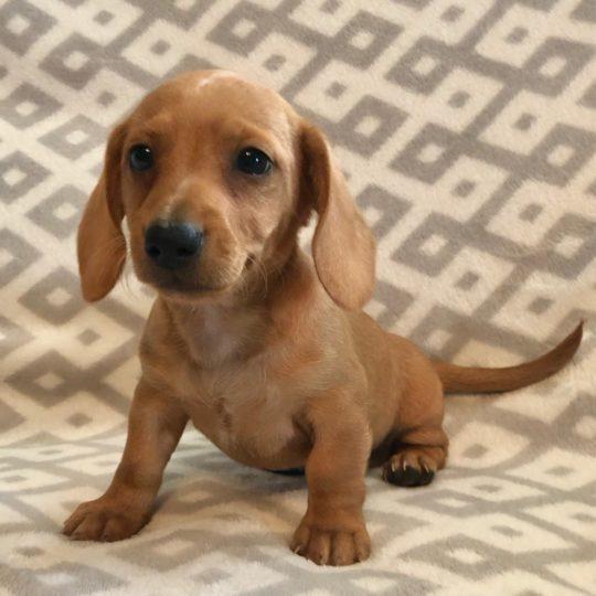 Mini Dachshund Puppy for Sale