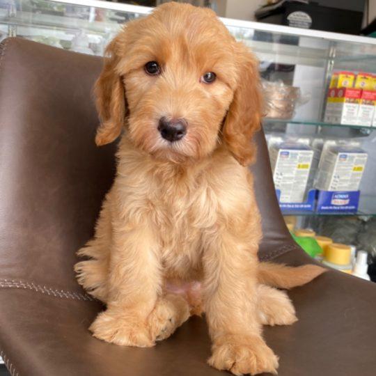 F2 Standard Goldendoodle Puppy for Sale