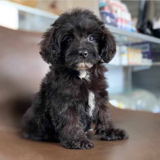 F1b Yorkie-poo Puppy for Sale