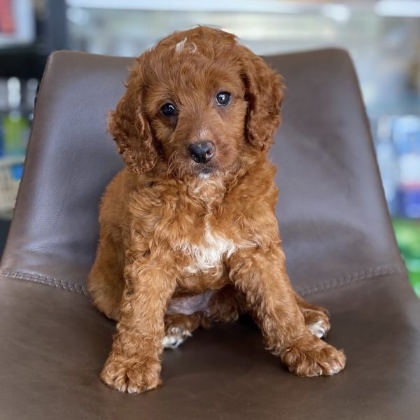 F1b Mini Bernedoodle Puppy for Sale
