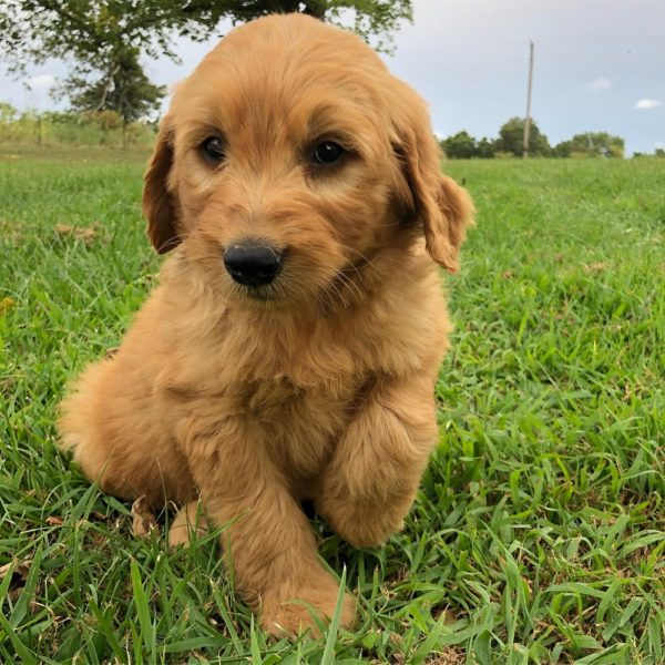 Standard Goldendoodle F1 Puppy for Sale