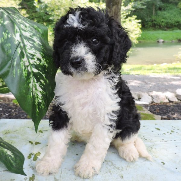 Bernese Cavapoo Puppy for Sale