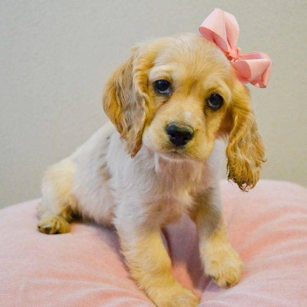 Cocker Spaniel Puppy for Sale