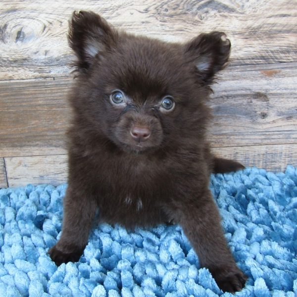 F1b Pomapoo Puppy for Sale