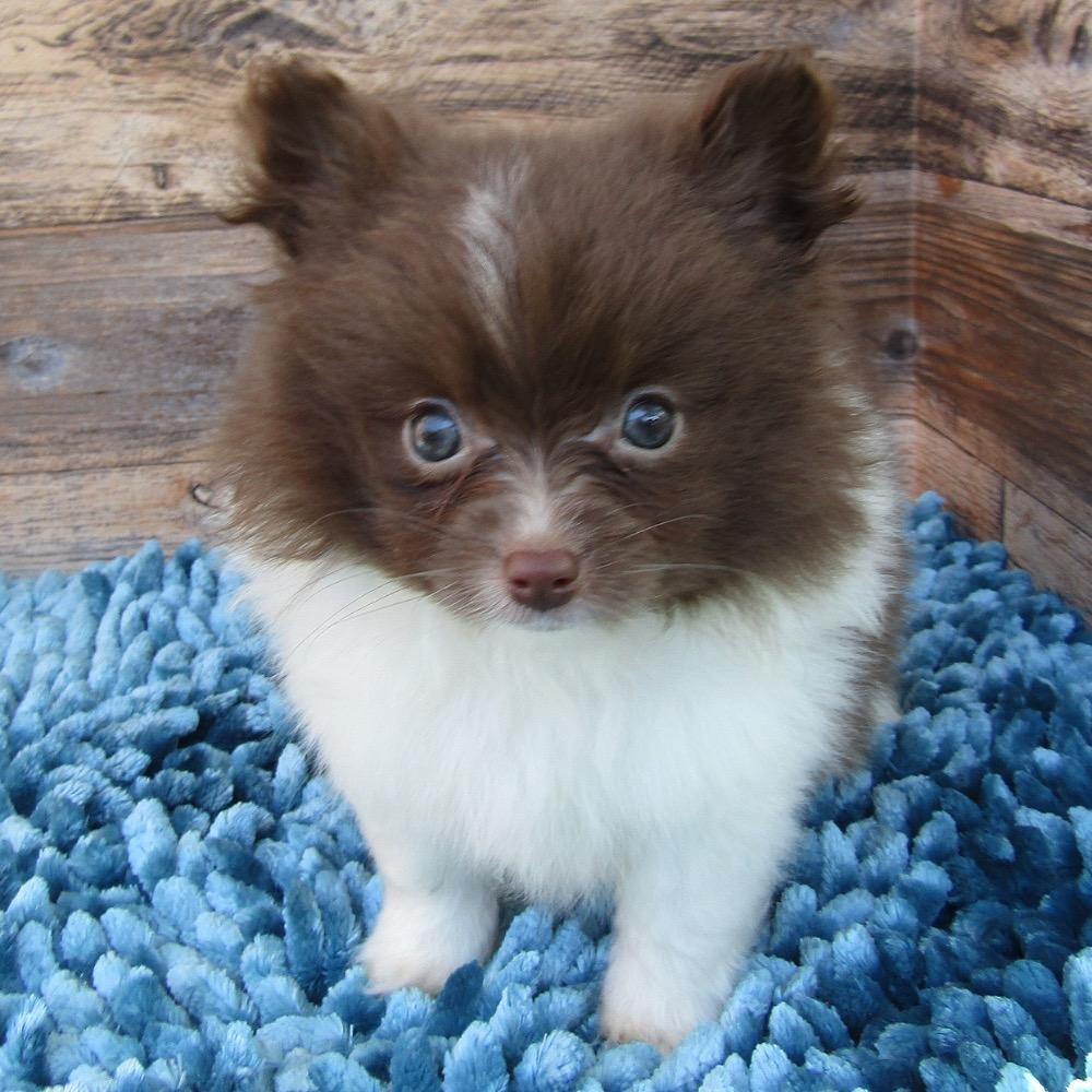 F1B POMAPOO | MALE | ID:7527-WL – Central Park Puppies