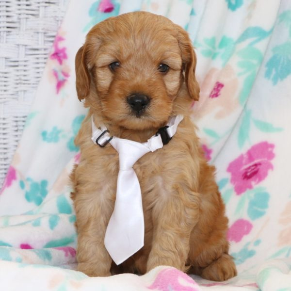 F1 Mini Goldendoodle Hybrid Puppy for Sale