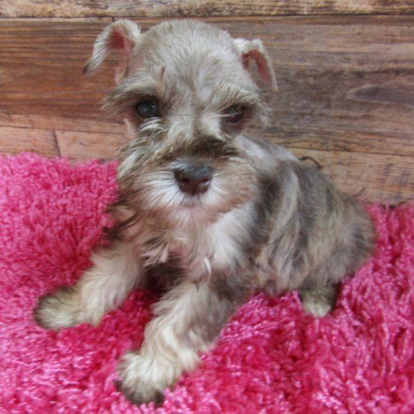 Schnauzer Puppy for Sale