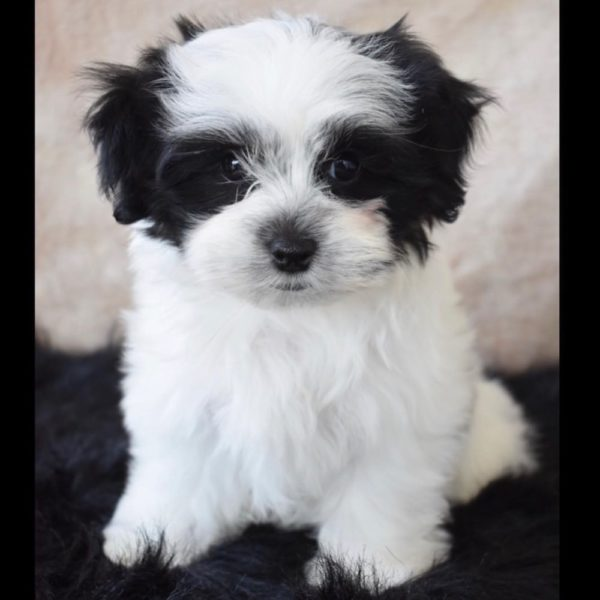 Mal-shi Puppy for Sale