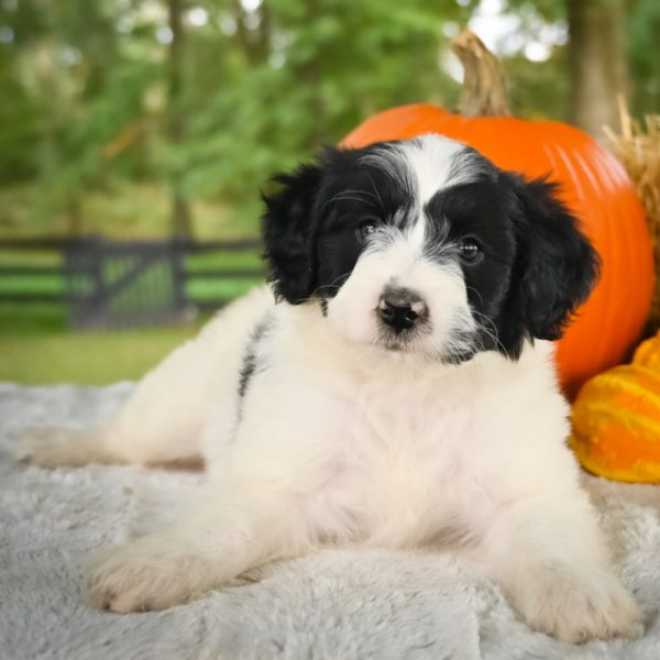 F1 Mini Aussiedoodle Puppy for Sale