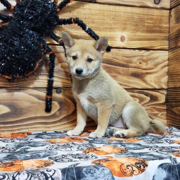 Shiba Inu Puppy for Sale