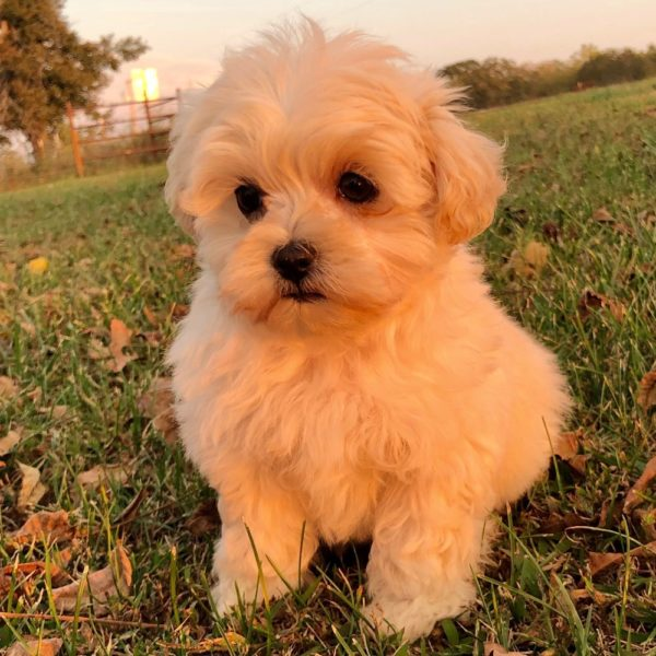 Maltipoo (maltese × Poodle) Puppy for Sale