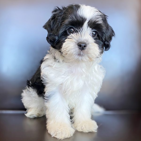 Zuchon Puppy for Sale