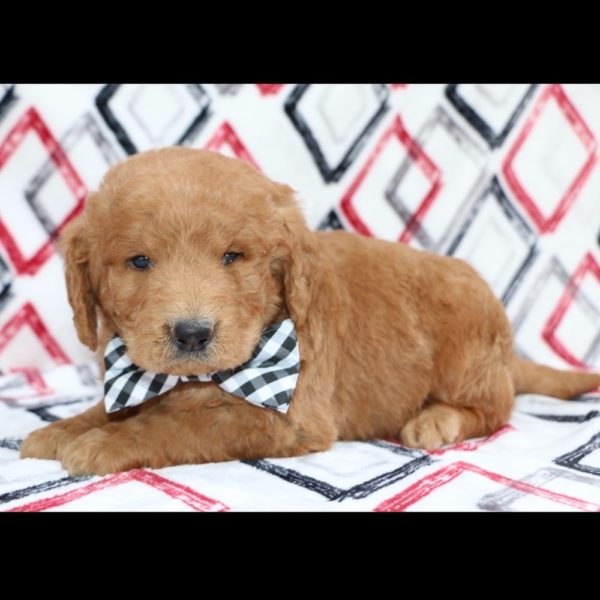F1b Standard Labradoodle Puppy for Sale