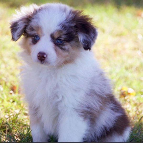 Miniature Australian Shepherd Puppy for Sale