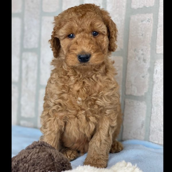 Mini F1b Irish Goldendoodle Puppy for Sale