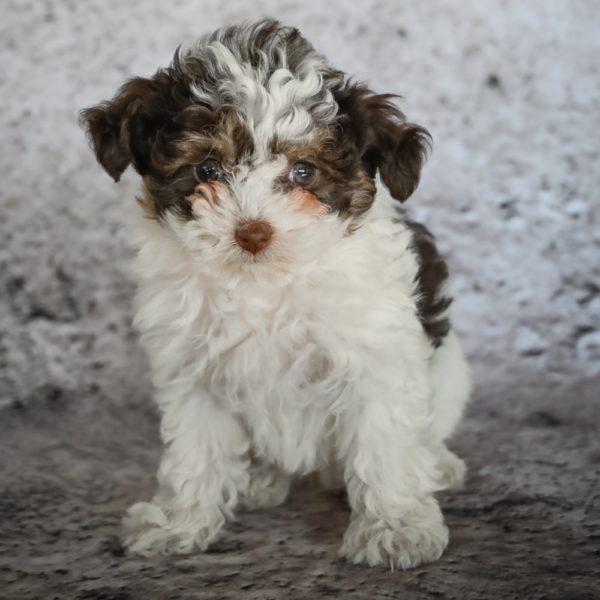 F1b Mini Aussiedoodle Puppy for Sale