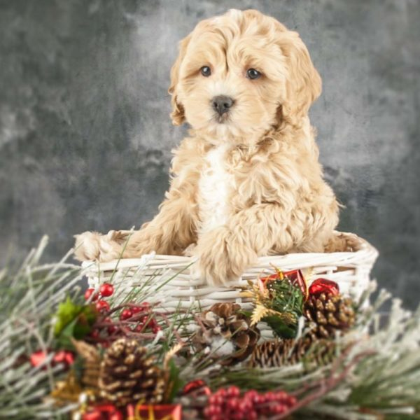 F1 Cavapoo Puppy for Sale