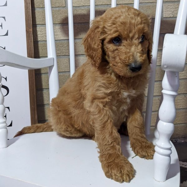 F1b Standard Goldendoodle Puppy for Sale