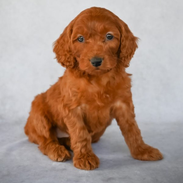 F2 Mini Goldendoodle Hybrid Puppy for Sale