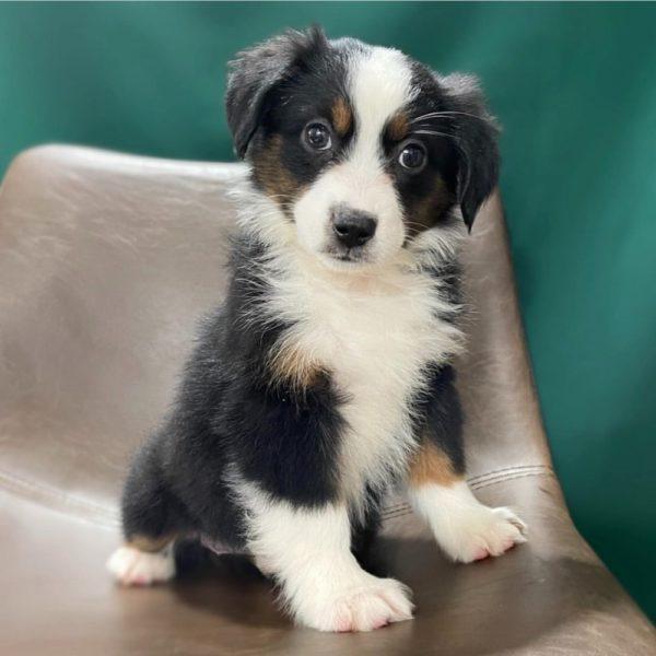 Toy Australian Shepherd Puppy for Sale
