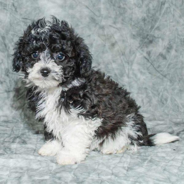 Poochon Puppy for Sale