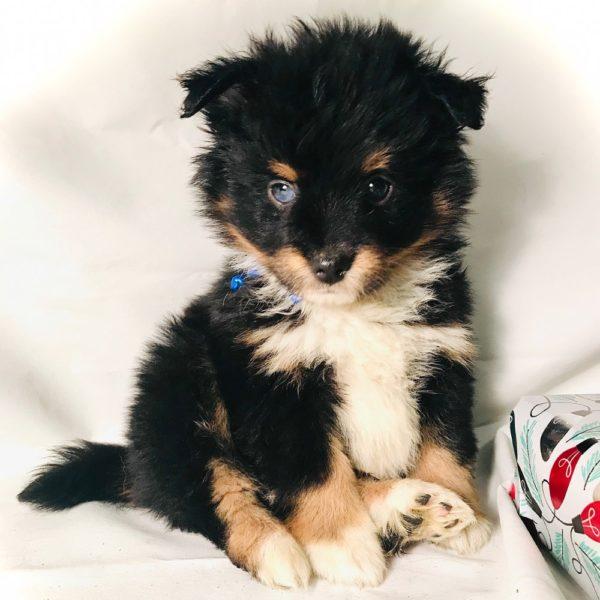 Paussie Puppy for Sale