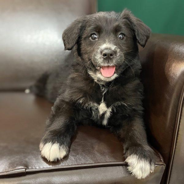 Australian Retriever Puppy for Sale