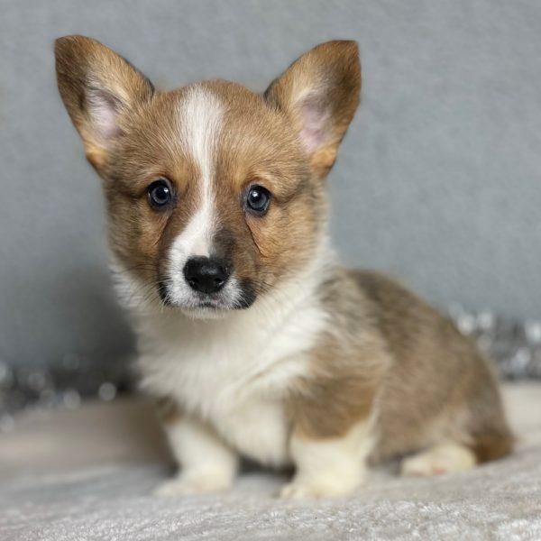Pembroke Welsh Corgi Puppy for Sale
