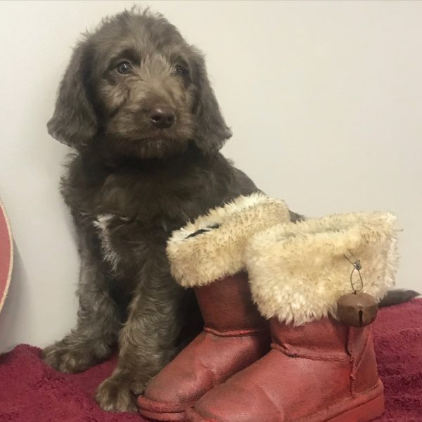 Standard Labradoodle Puppy for Sale