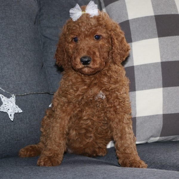 F2b Standard Goldendoodle Puppy for Sale