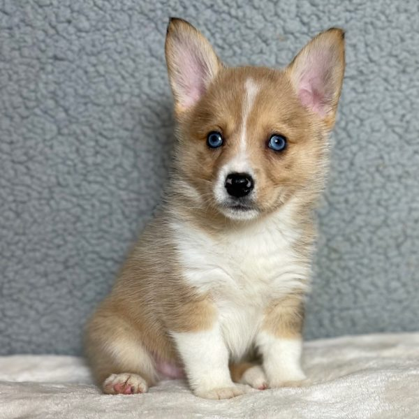Corgsky Hybrid Puppy for Sale