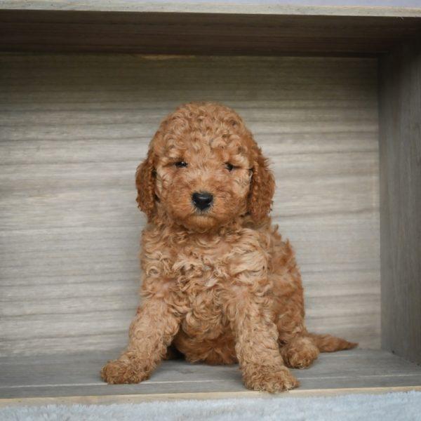 F1b Mini Goldendoodle Puppy for Sale