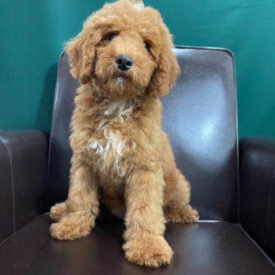 Medium Poodle Puppy for Sale