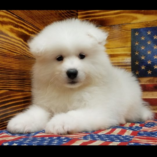 Samoyed Puppy for Sale
