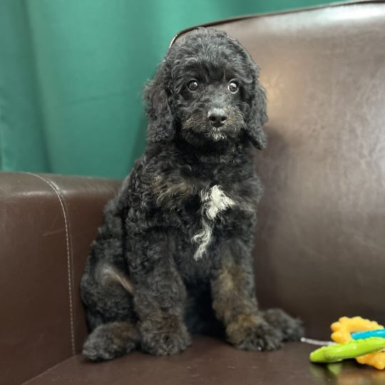 F1b Bernese Cavapoo Puppy for Sale