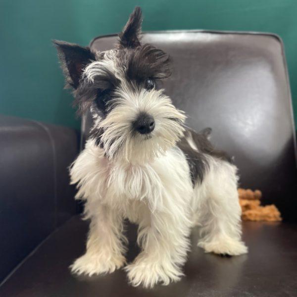 Miniature Schnauzer Puppy for Sale