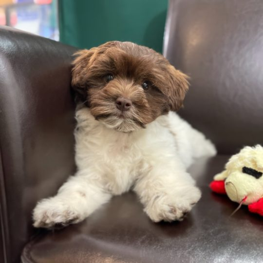 Shichonpoo Puppy for Sale