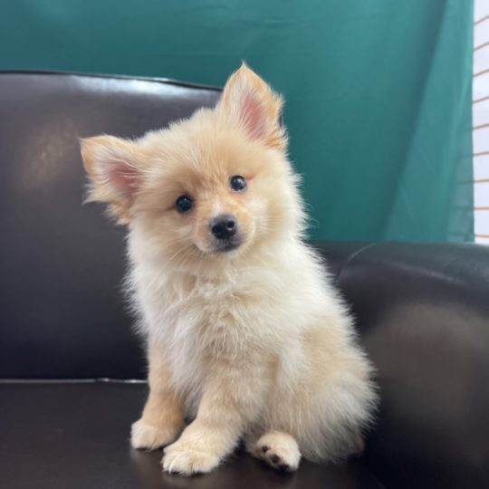 F1b Paperanian Puppy for Sale